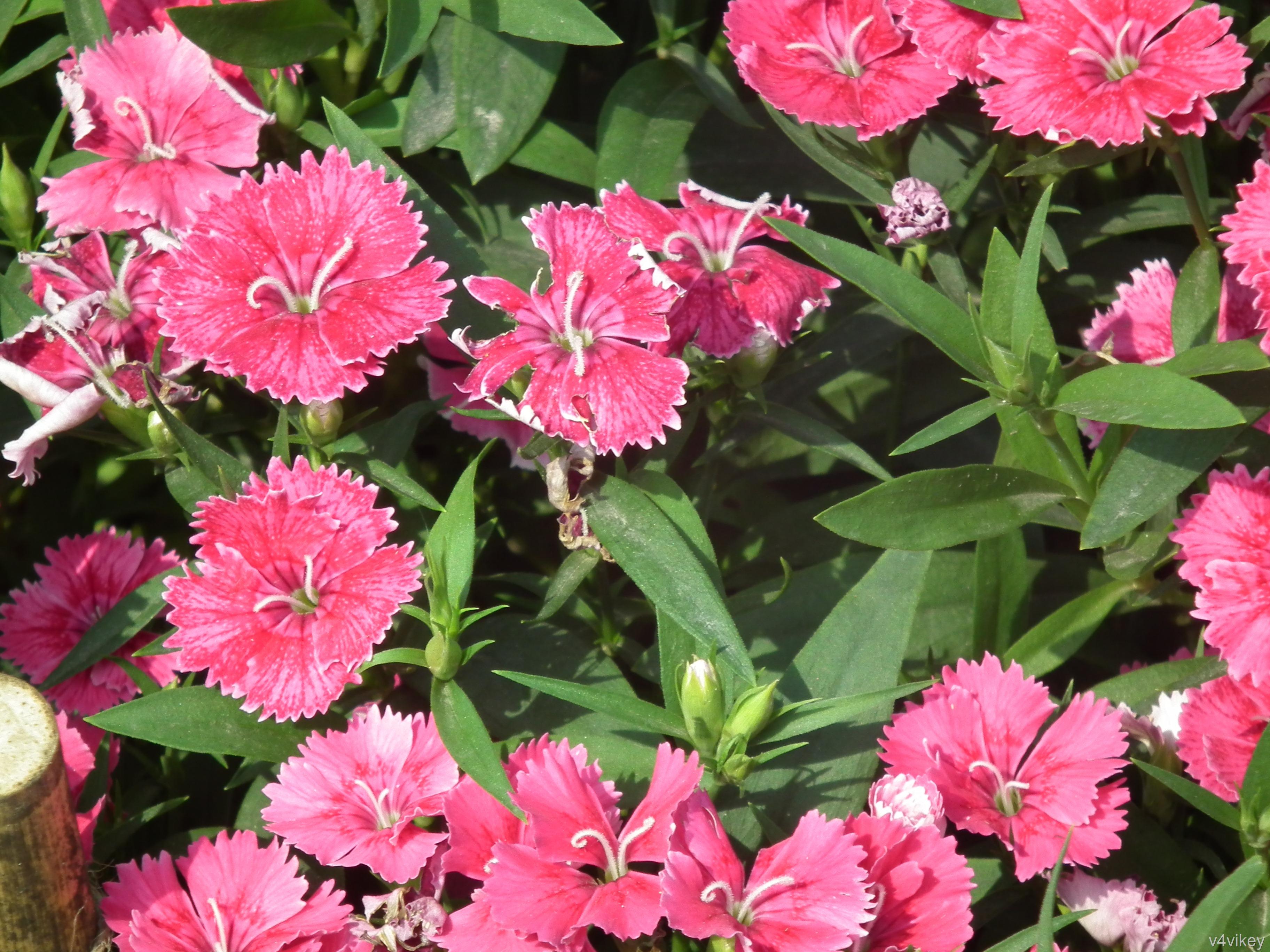 Beautiful Frosty Fire Pinks Flower Wallpaper Tadka