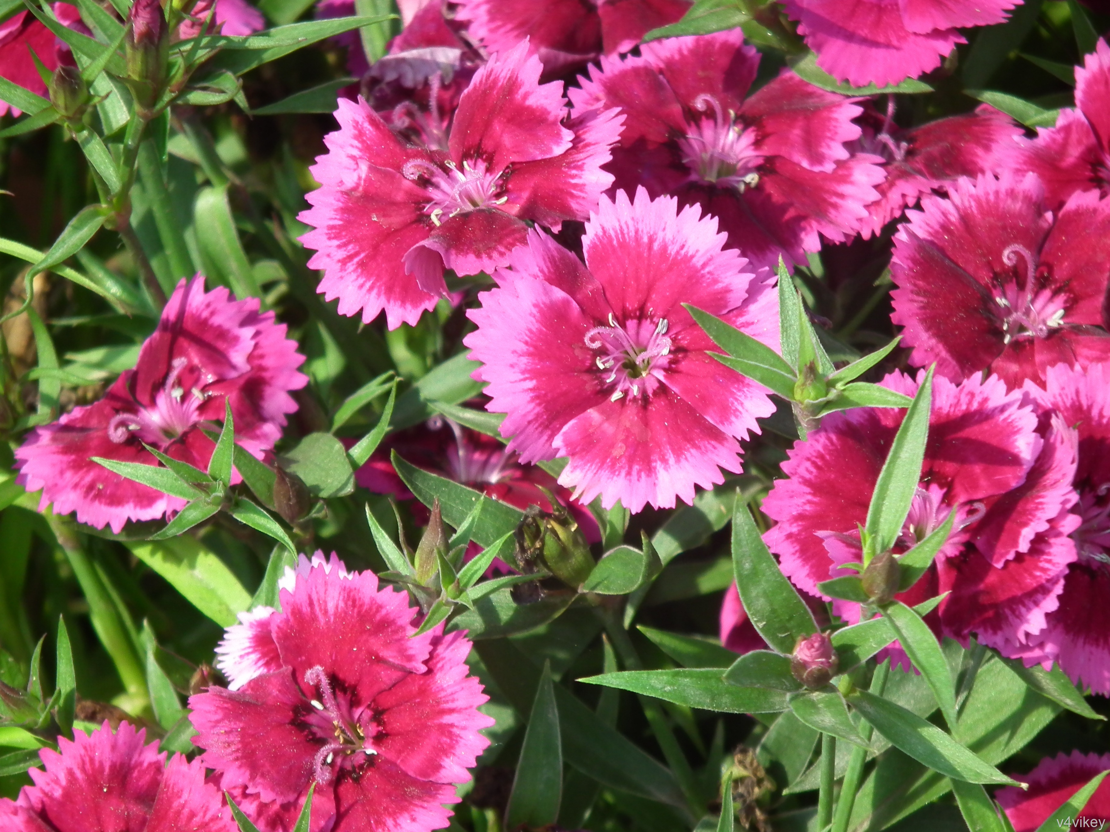 Dianthus neon star pinks are frilly flowers wallpaper tadka dianthus neon star pinks are frilly flowers mightylinksfo