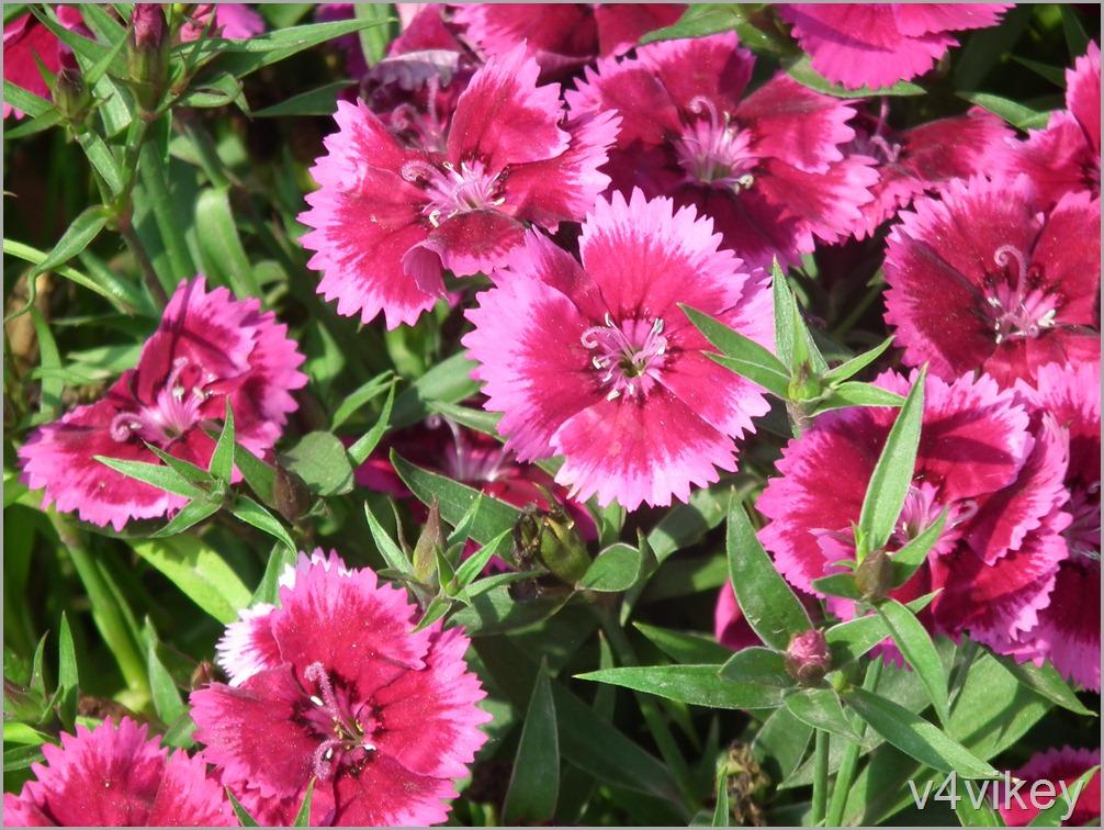 Dianthus Flower Picture