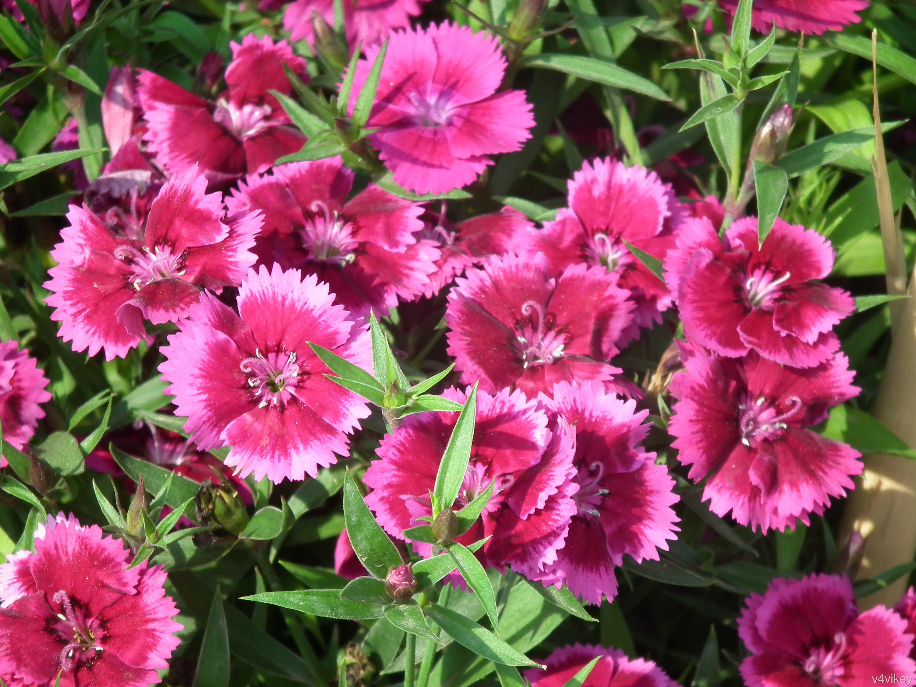 Types of perennial dianthus wallpaper tadka frosty fire dianthus flowers are excellent for cutting mightylinksfo