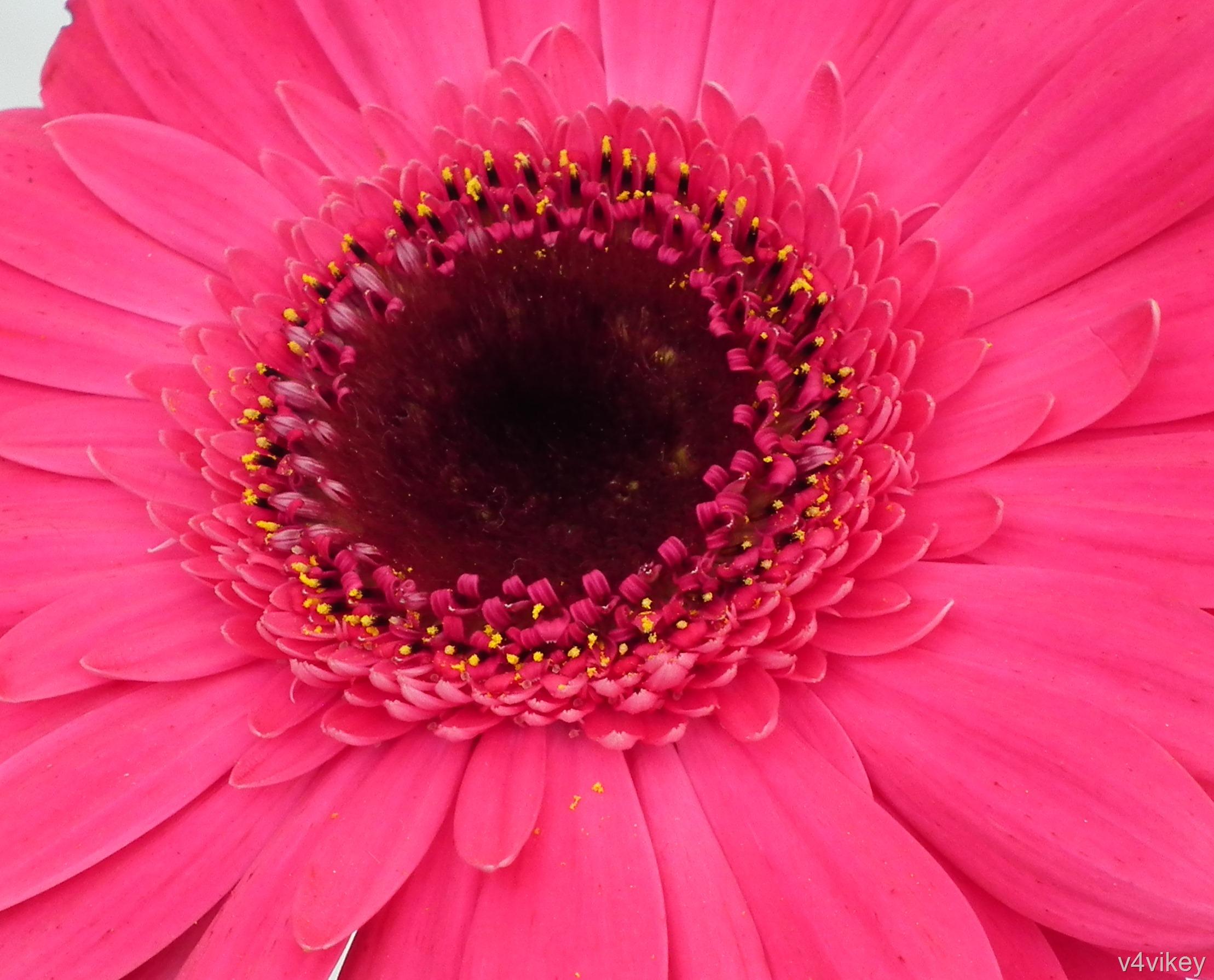 gerbera daisies are so perfect « wallpaper tadka