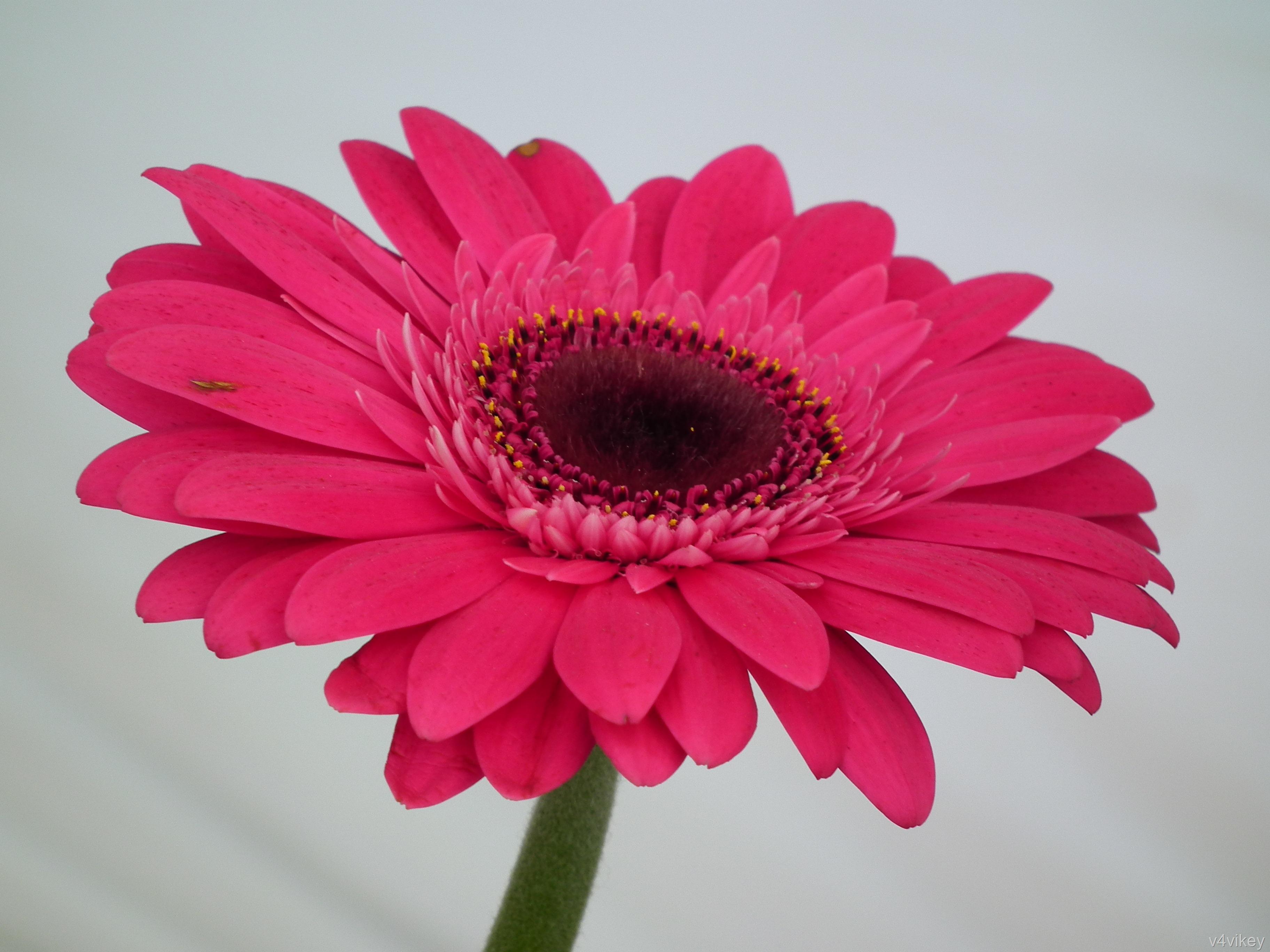 pink gerbera flowers wallpapers - photo #39