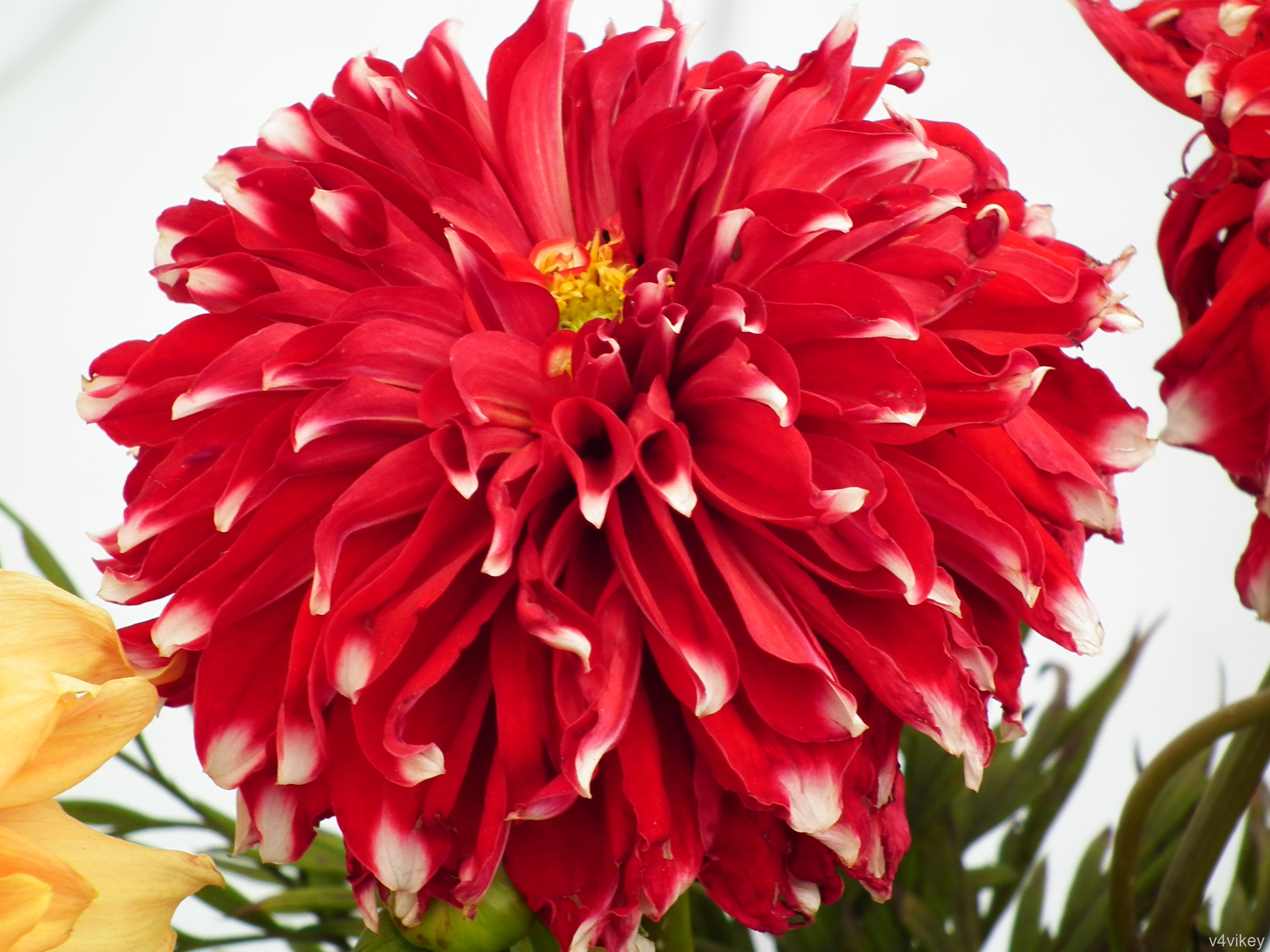 Red Checker Big Dahlia Flower Is One Of The Most Consistent Blooming