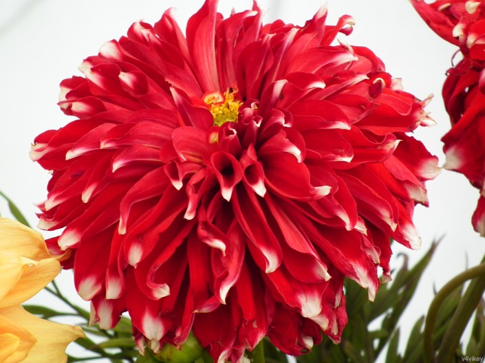 Red Checker Big Dahlia Flower