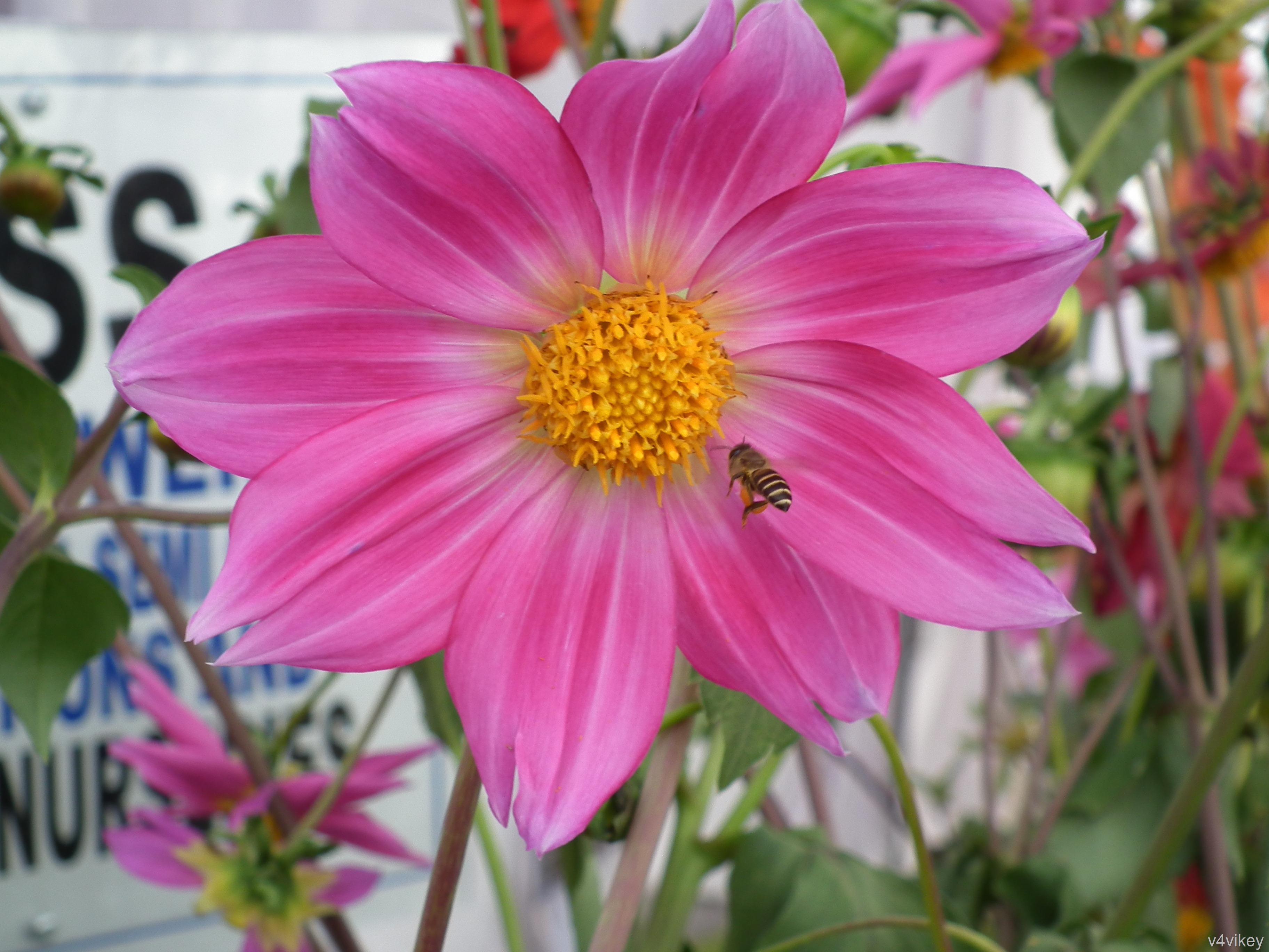 Dahlia Flower Wallpaper Tadka