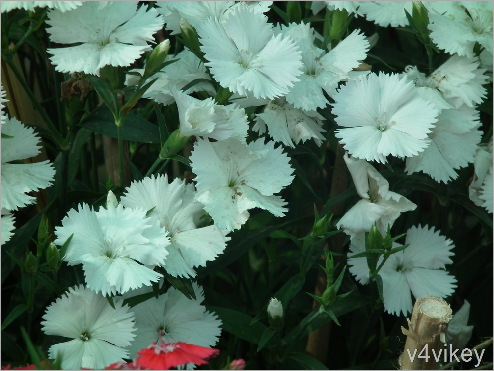 White Dianthus Flower