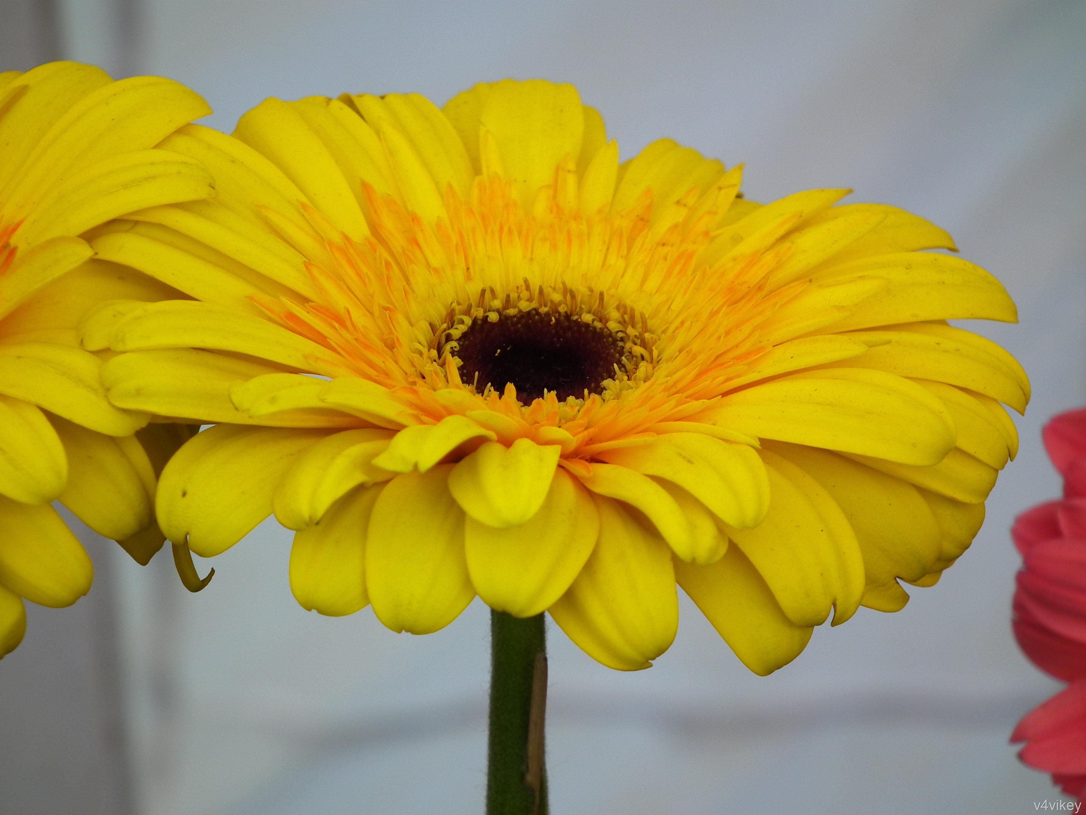 Beauty of Gerbera Daisy Flower
