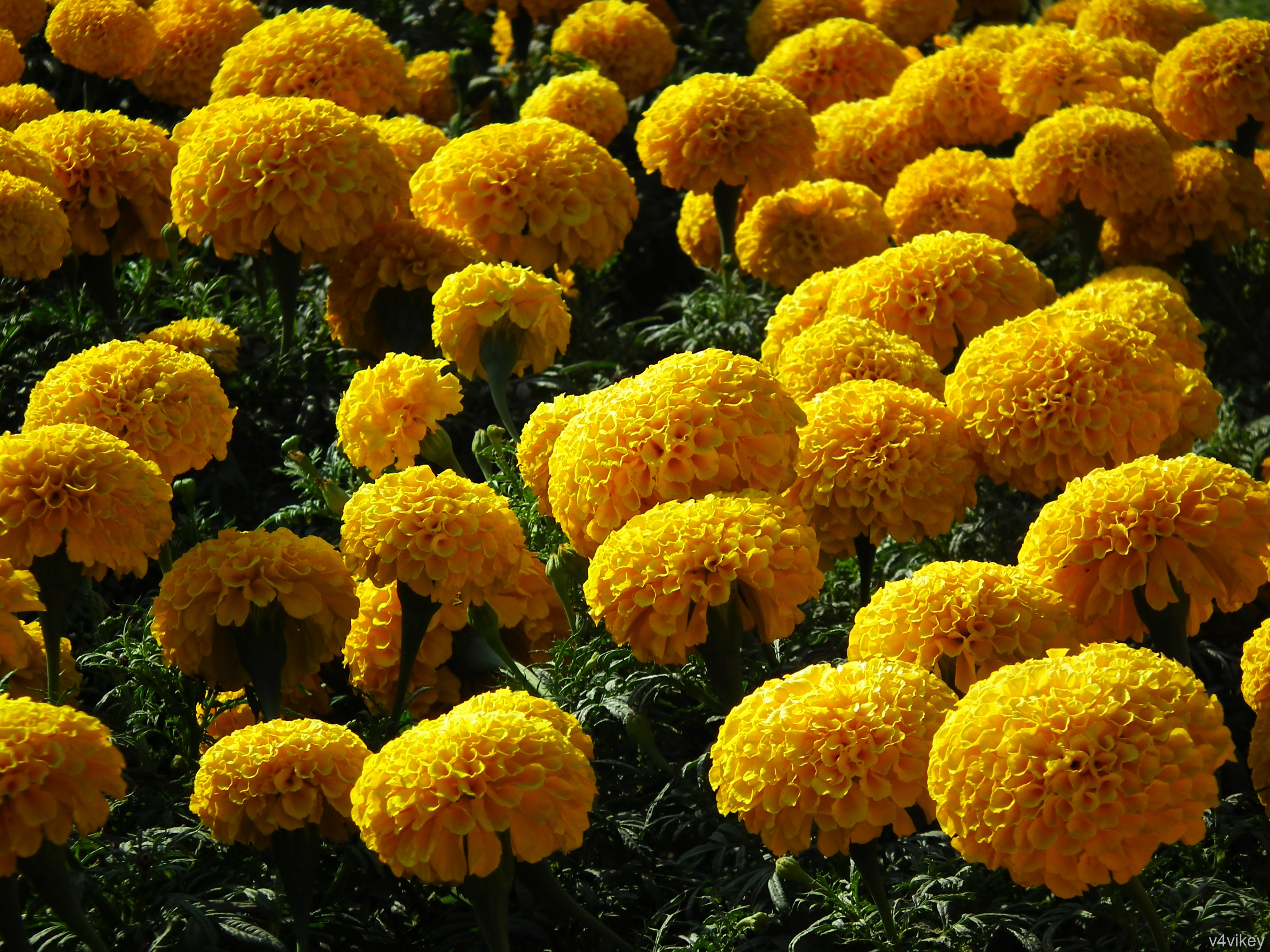 Marigold Flower Wallpaper Tadka