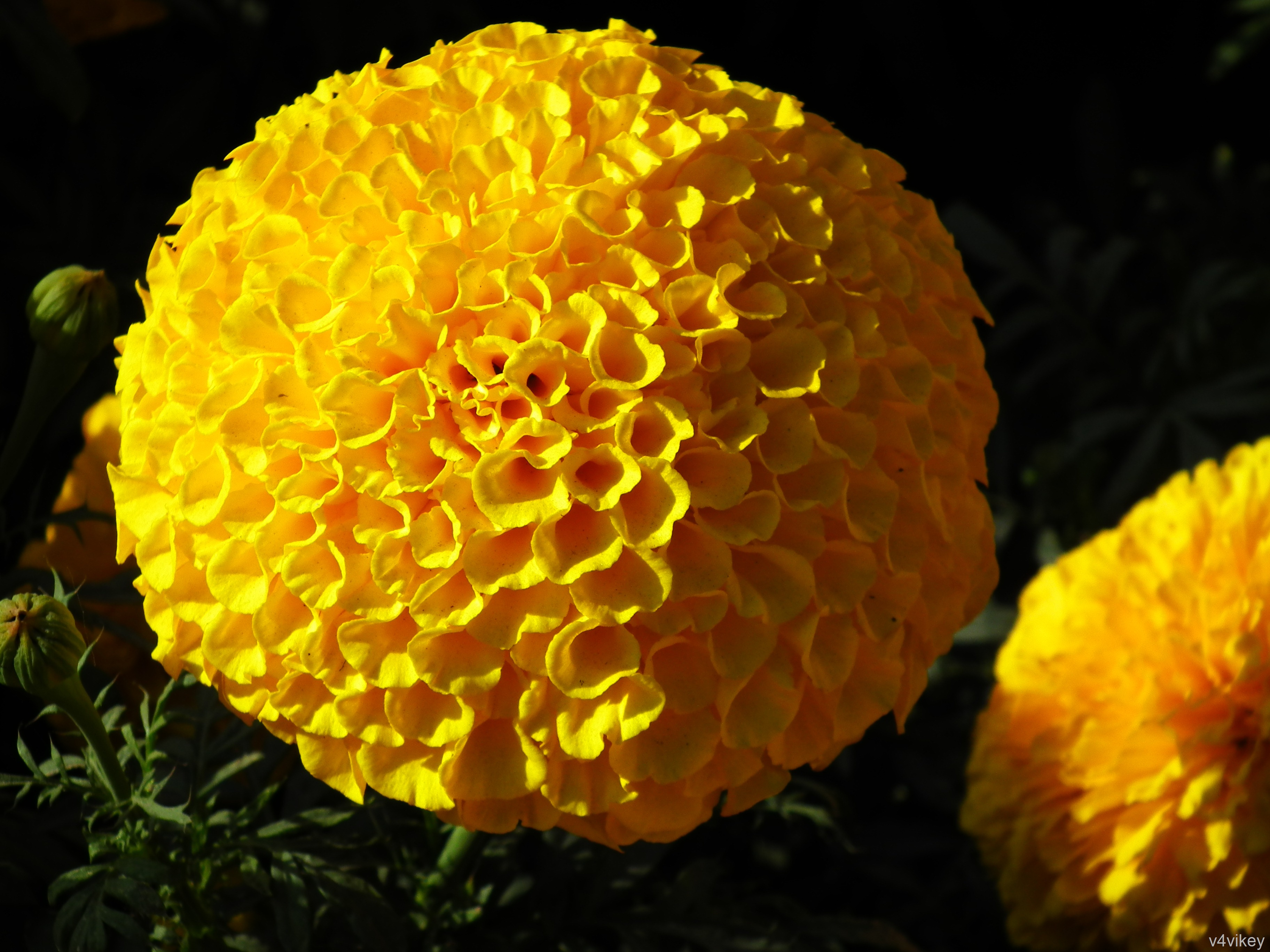 marigold insecticide Marigolds – the marigold is probably the most well-known plant for repelling insects french marigolds repel whiteflies and kill bad nematodes french marigolds repel whiteflies and kill bad nematodes.
