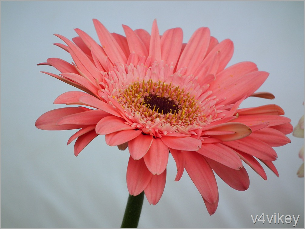 Peach Gerbera Daisy Flower