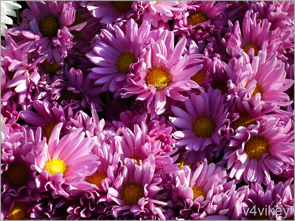 Pink Color Chrysanthemum