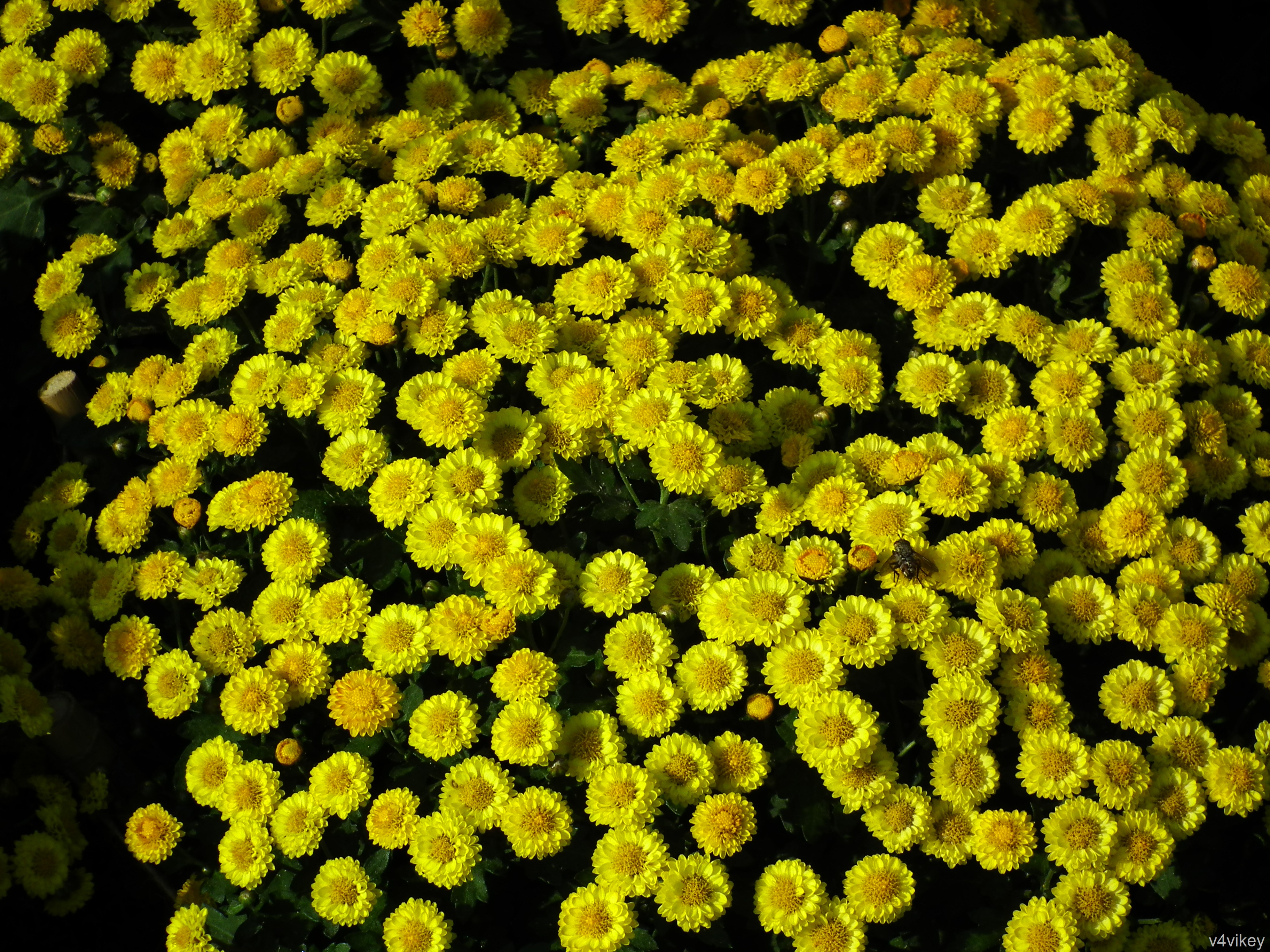 the yellow wallpaper and the chrysanthemums Literary research essay literary analysis example of the yellow wallpaper   only on studentshare comparing and contrasting the chrysanthemums and.