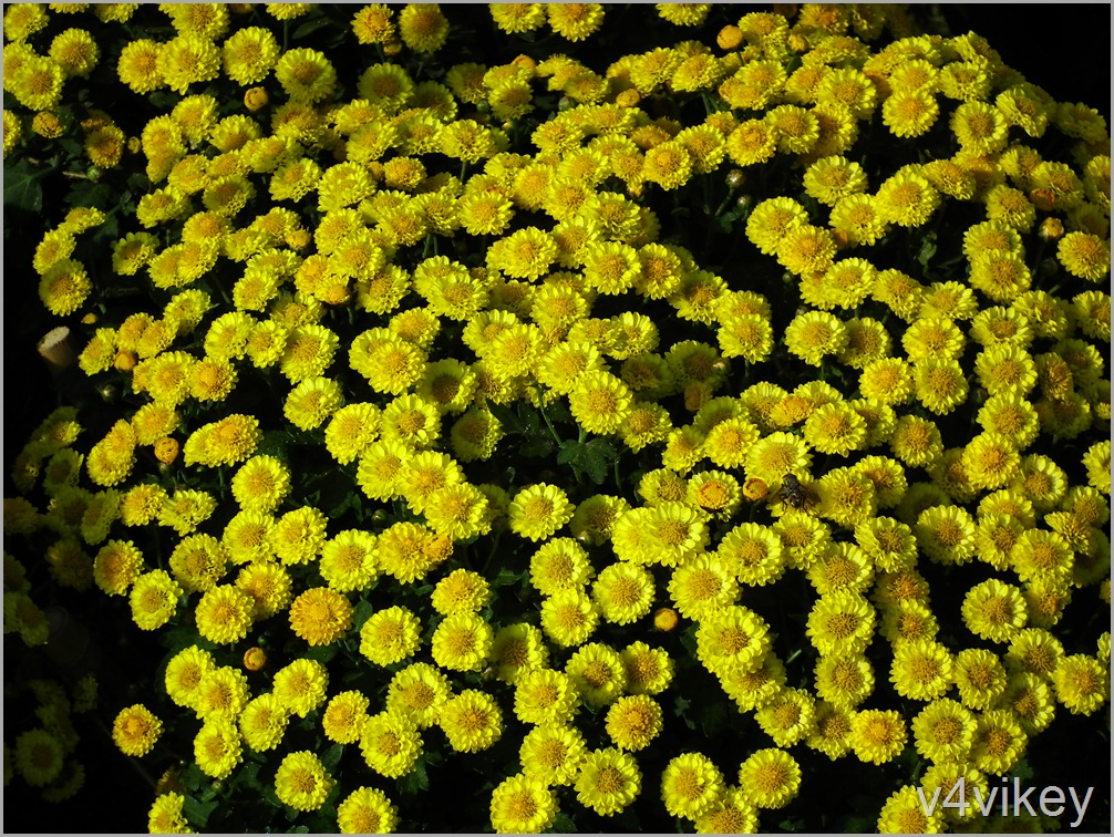 Yellow Button Chrysanthemum Flower