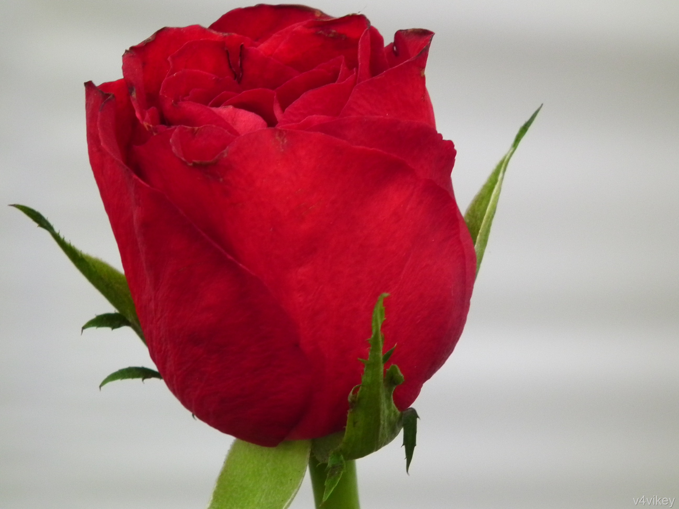 valentine red rose bud wallpaper « wallpaper tadka