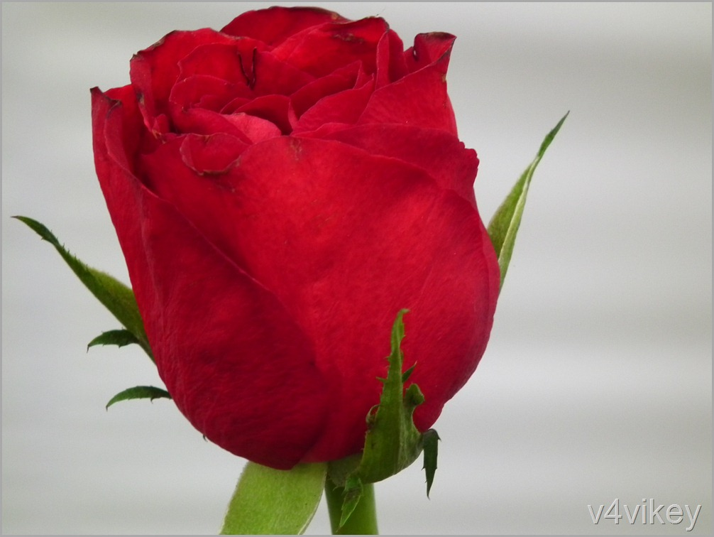 Valentine Red Rose Bud
