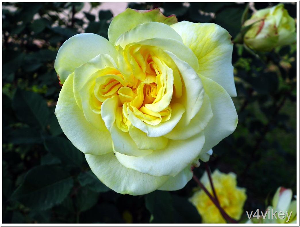1-Rose Flowers  (199)