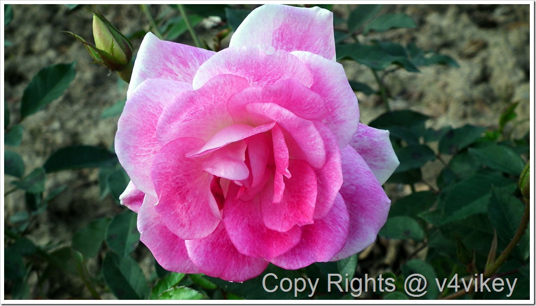 Hybrid Tea Rose Flower