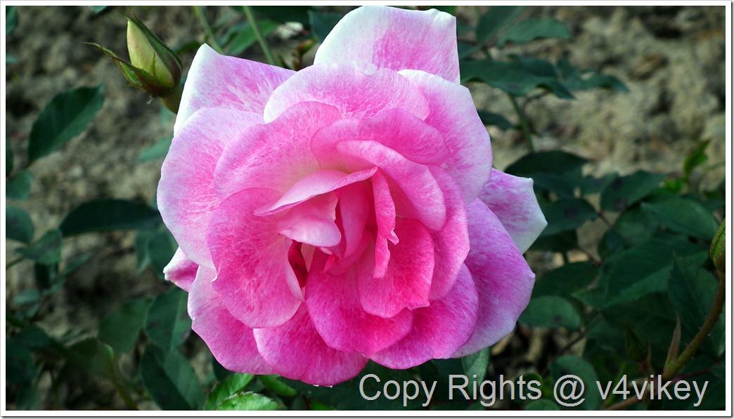 Hybrid Tea Rose Flower