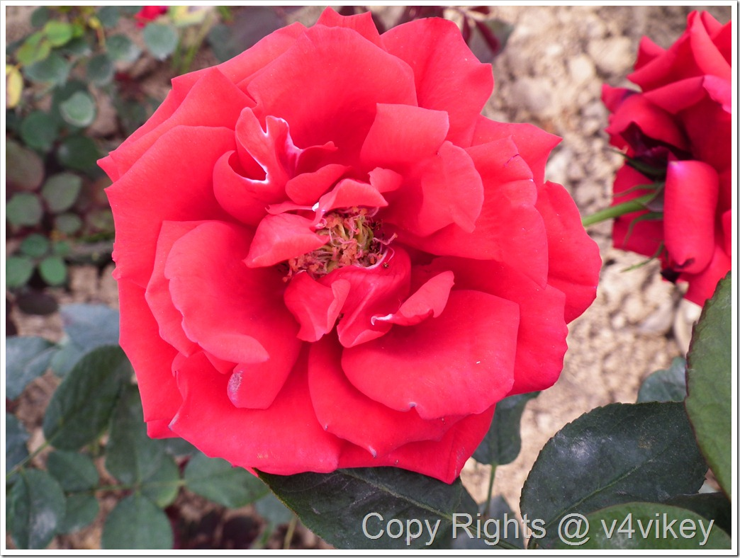 Dublin Bay Red Hybrid Tea Rose Flower