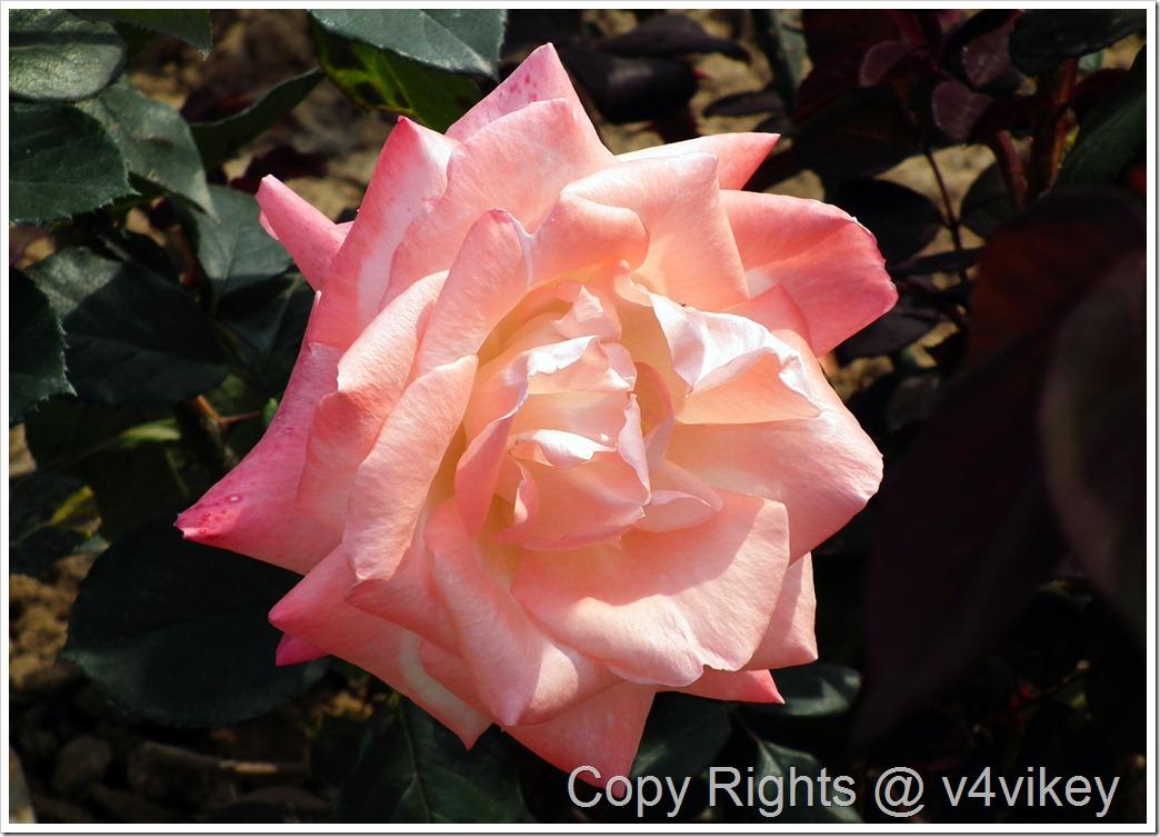Pink orange rose
