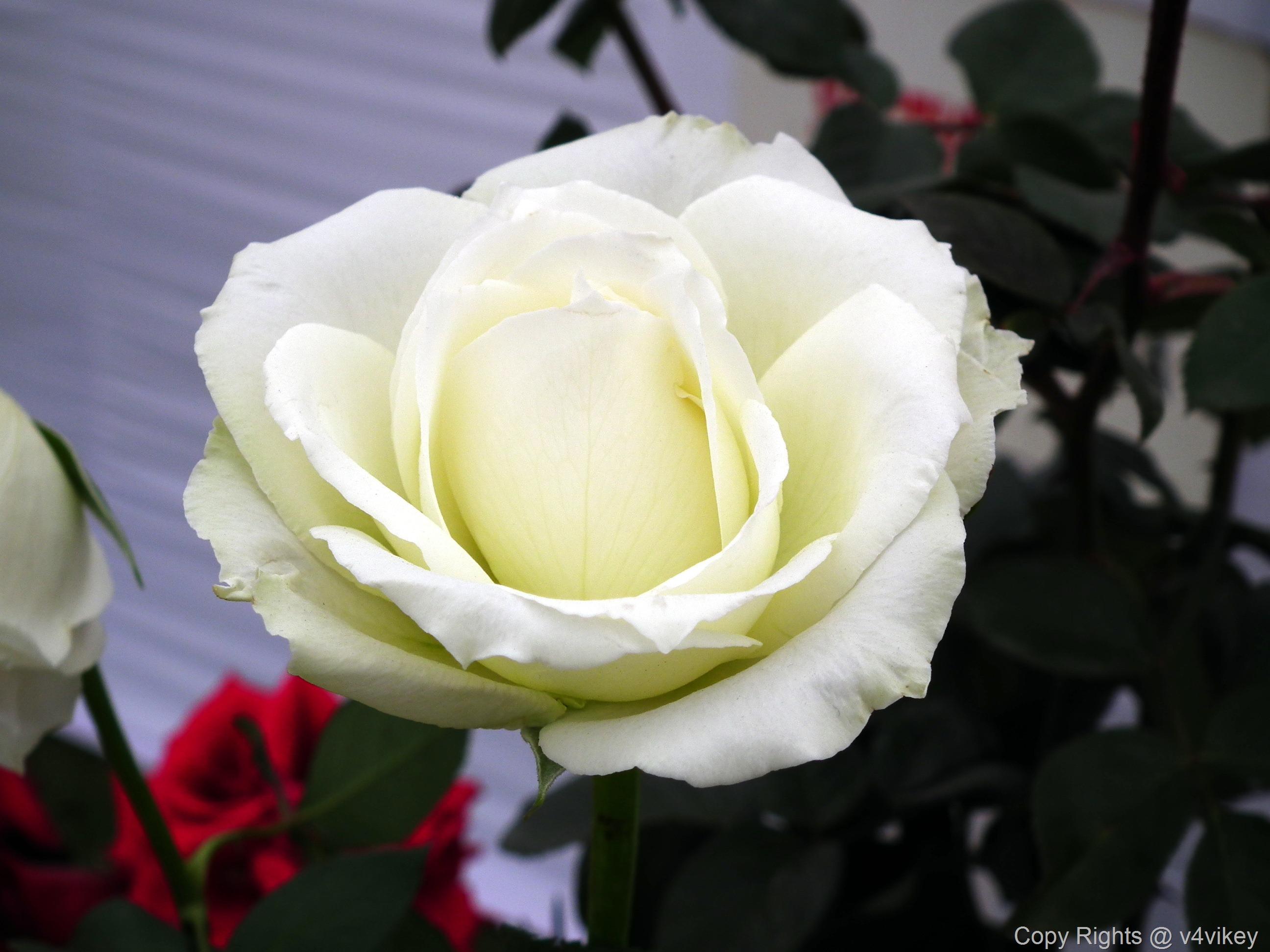 Cream Color Rose Wallpaper Tadka