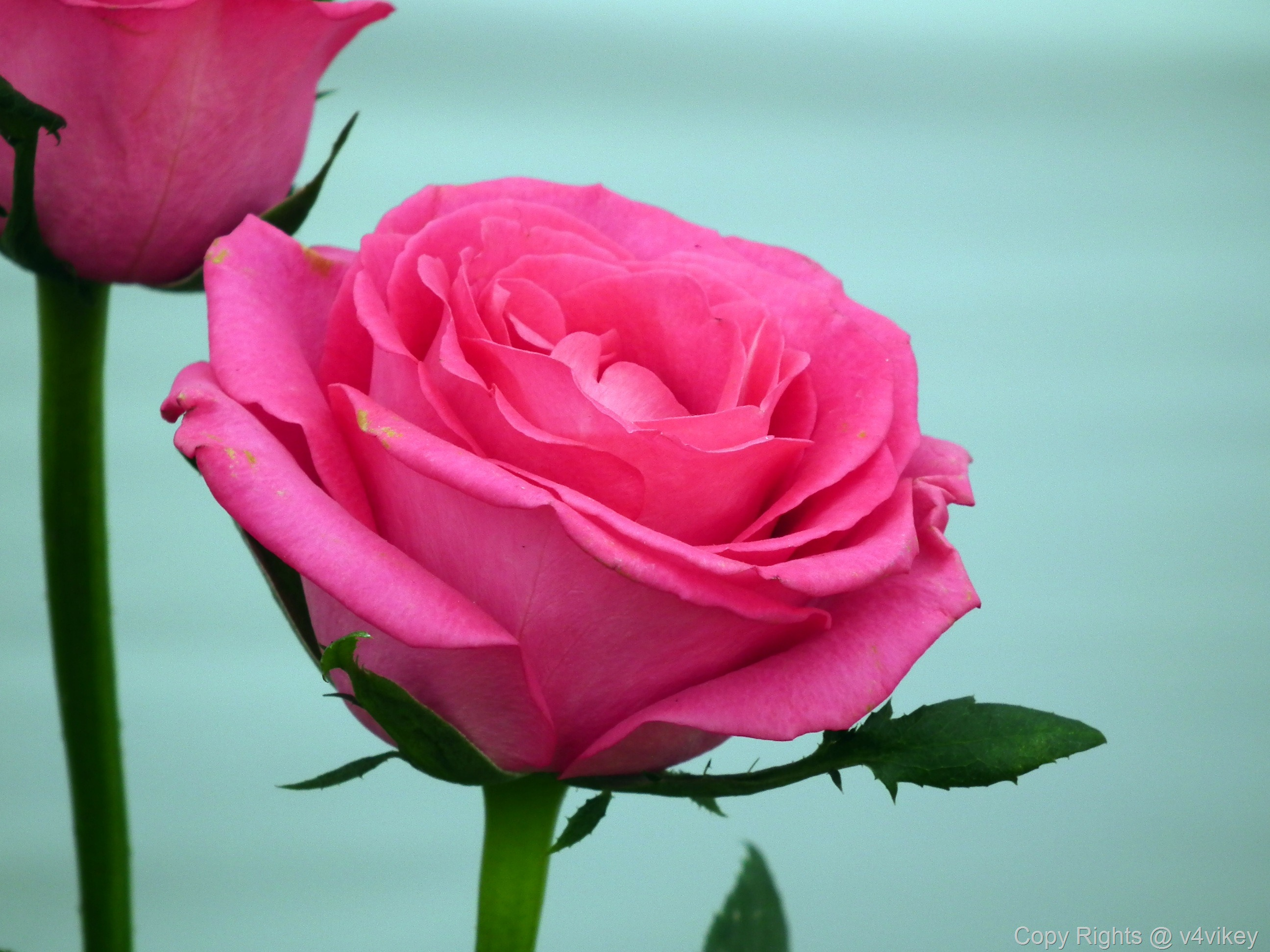 Beautiful Pink Roses Wallpaper Tadka