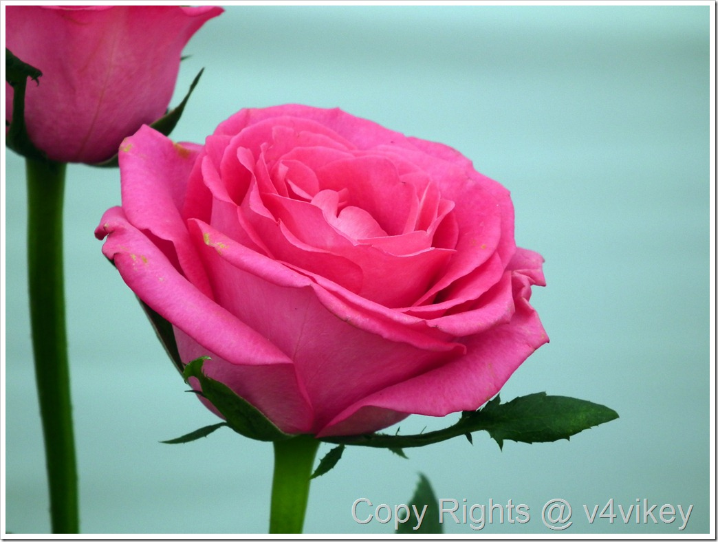 Pink rose color flower
