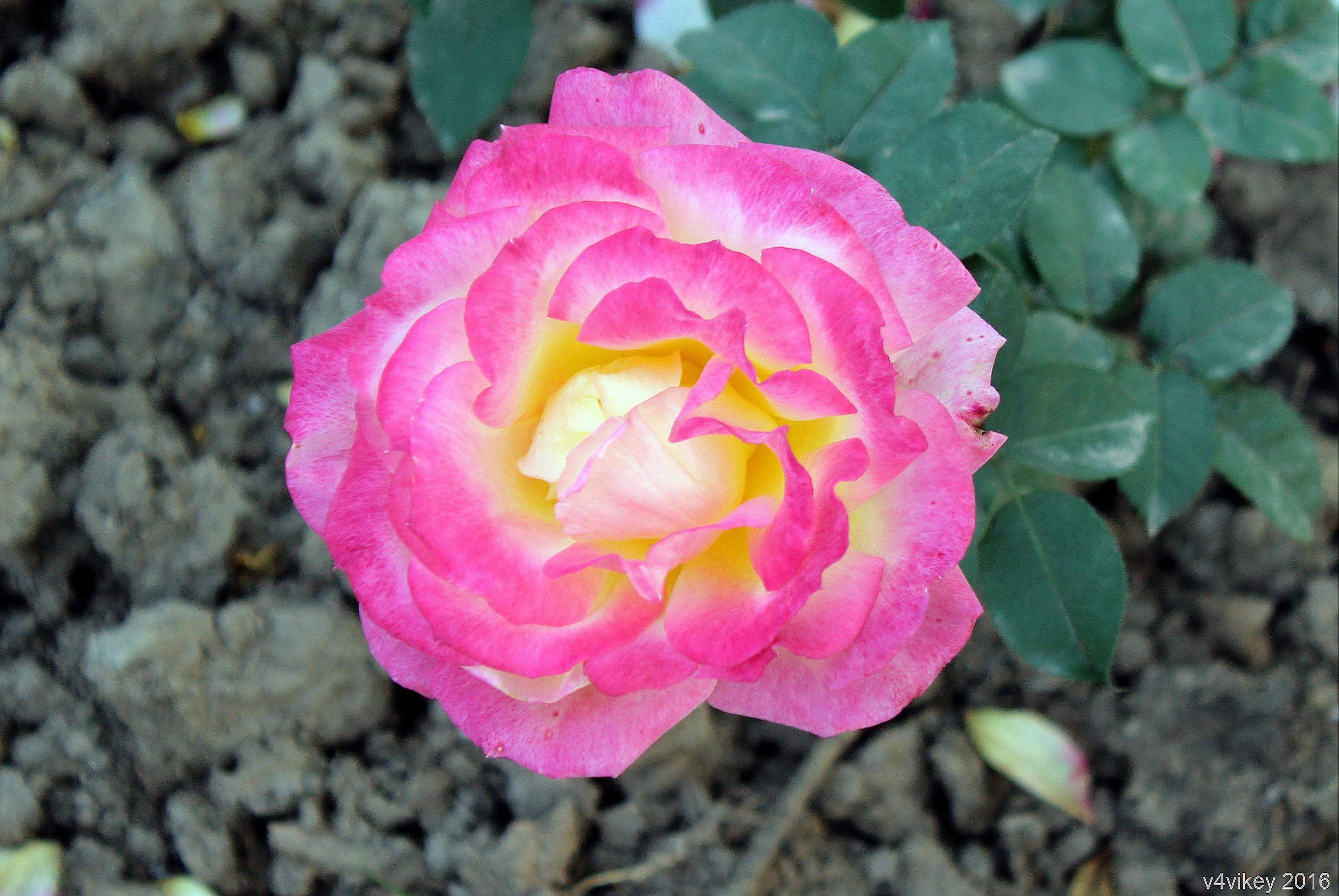 Rose Wallpapers Hd Wallpaper Tadka