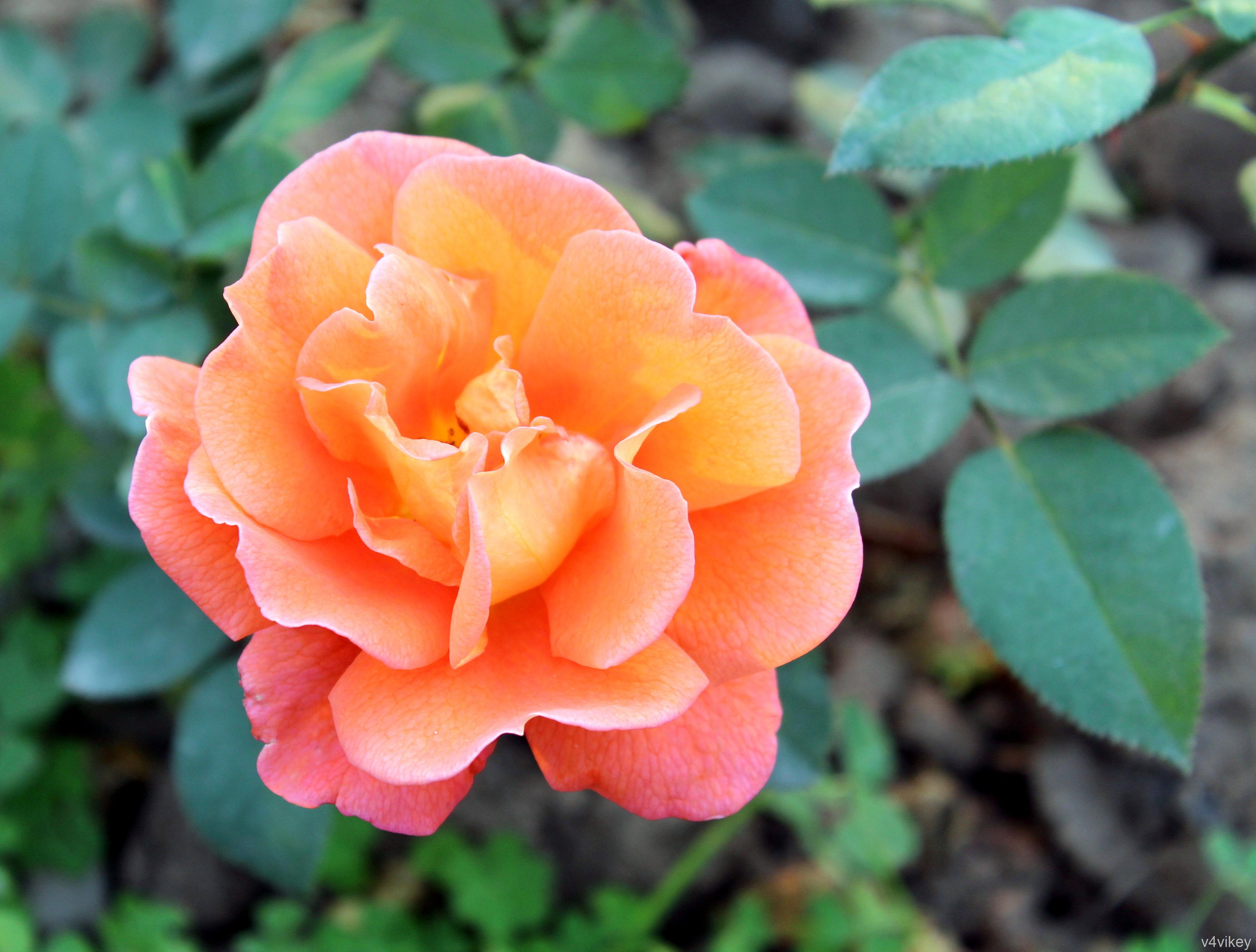 Denvers Dream Orange Rose Flower Wallpaper Wallpaper Tadka