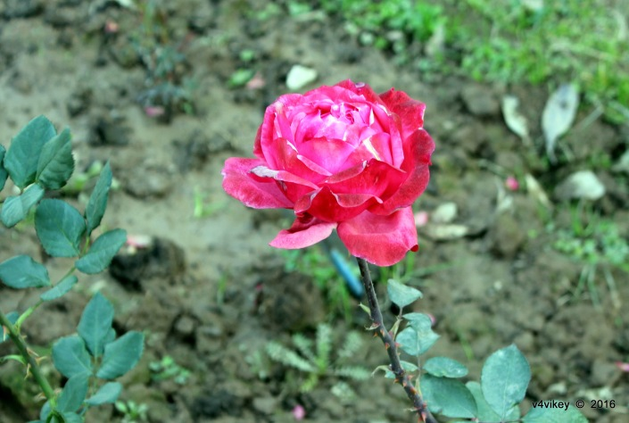 1-Rose Flowers Wallpapers (21).JPG