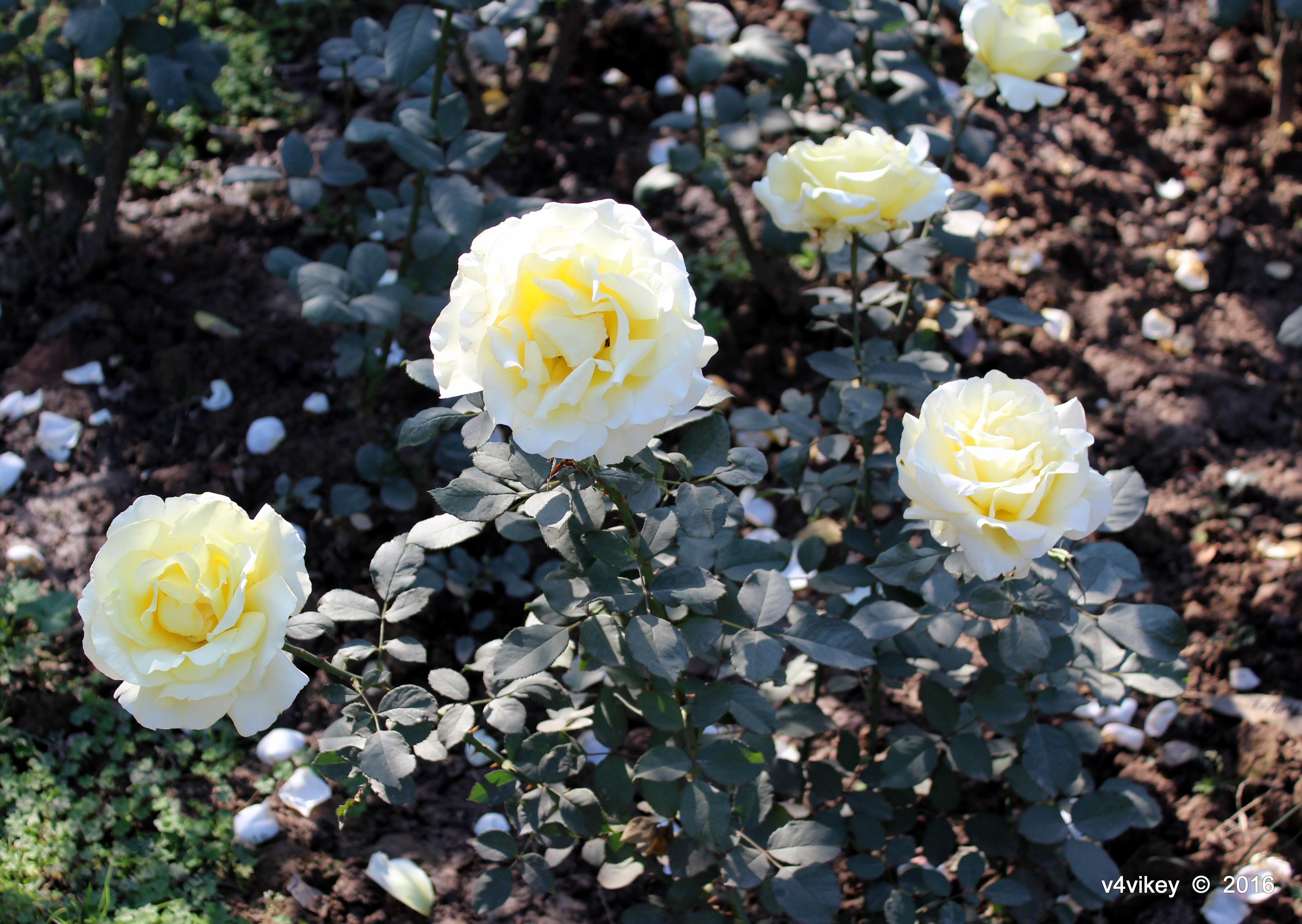 Yellow cream color rose flowers photograph wallpaper tadka for Cream rose wallpaper