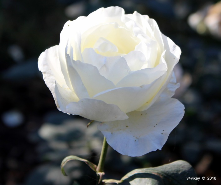 Rosa jacven white color rose flower photograph wallpaper tadka 1 rose flowers wallpapers 29 mightylinksfo