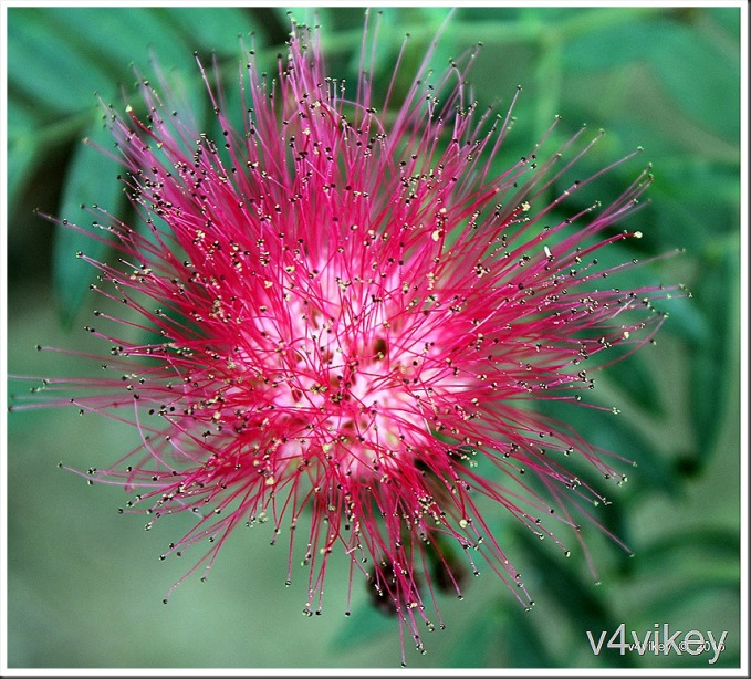 Beautiful Red Color Pohutukawa Flower Photograph
