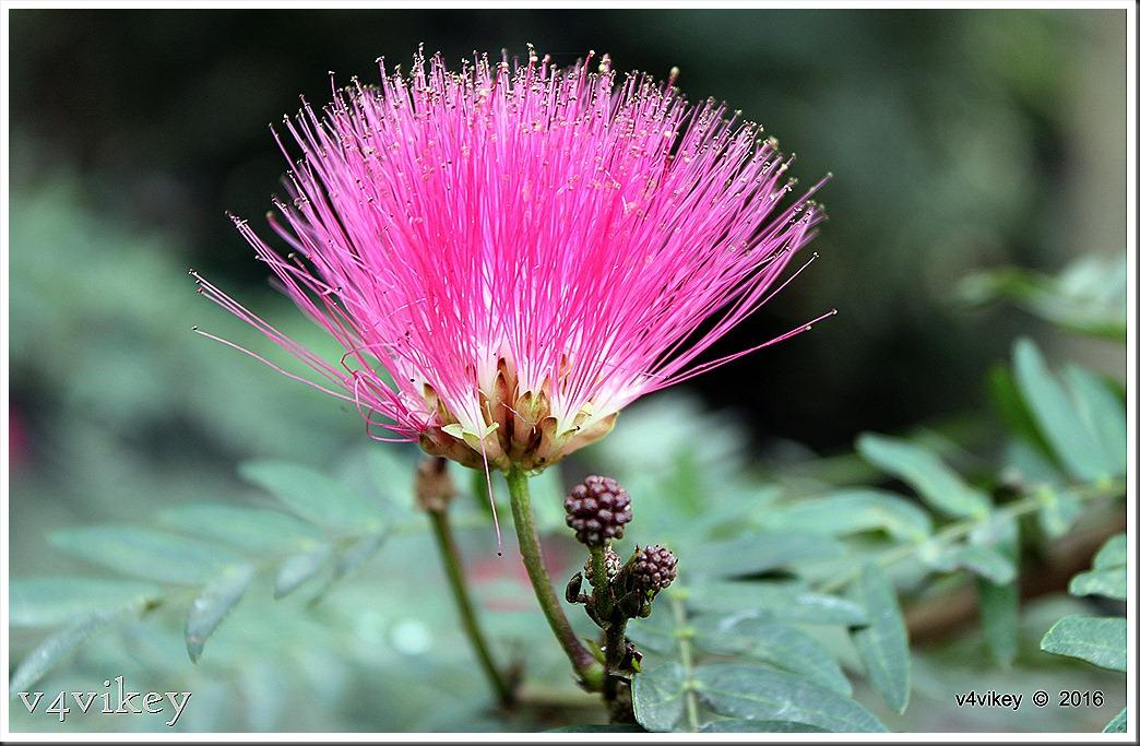 Red Pohutukawa Flower