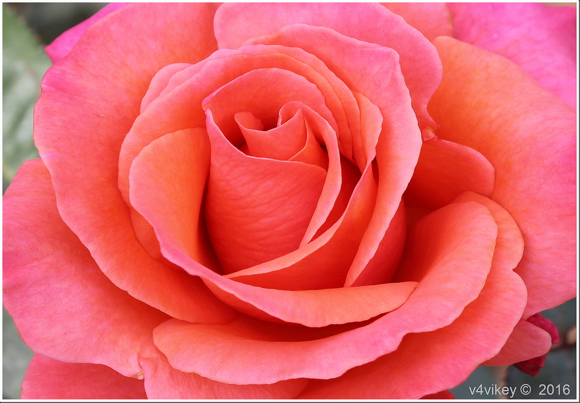 Carrot Orange Color Rose Flower