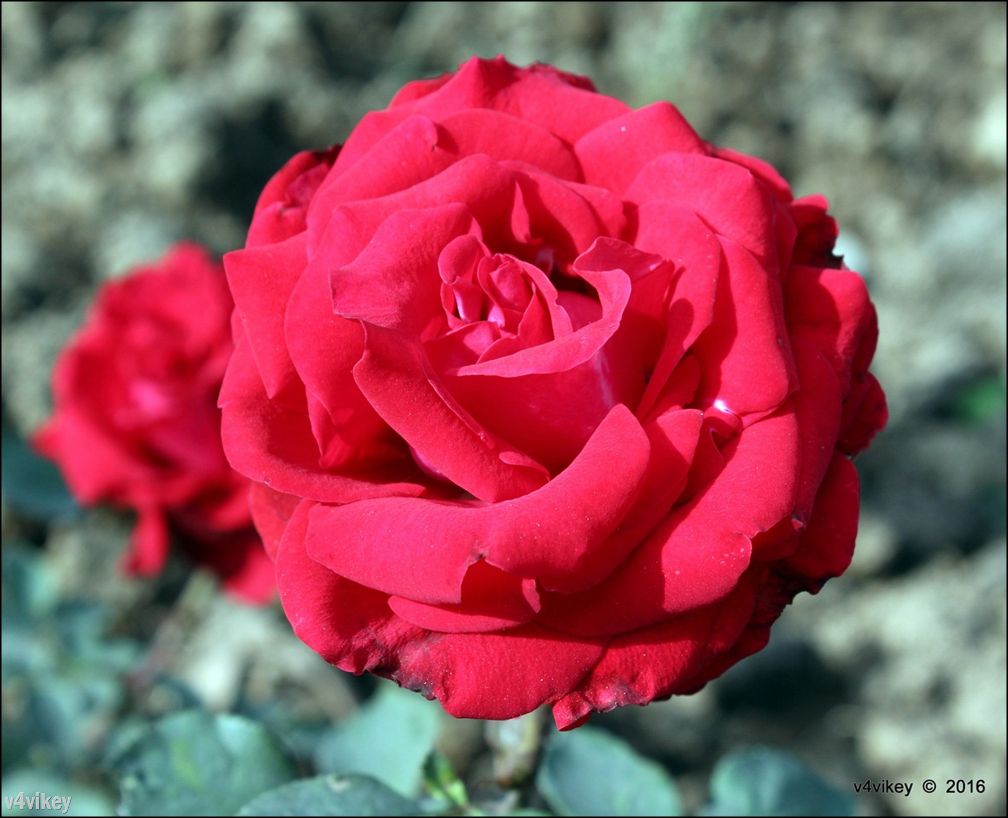 Red Queen Rose