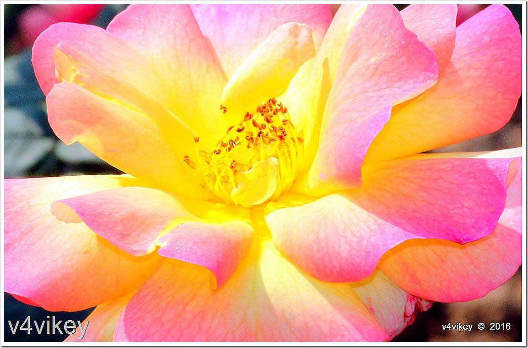 Pink Yellow Shaded