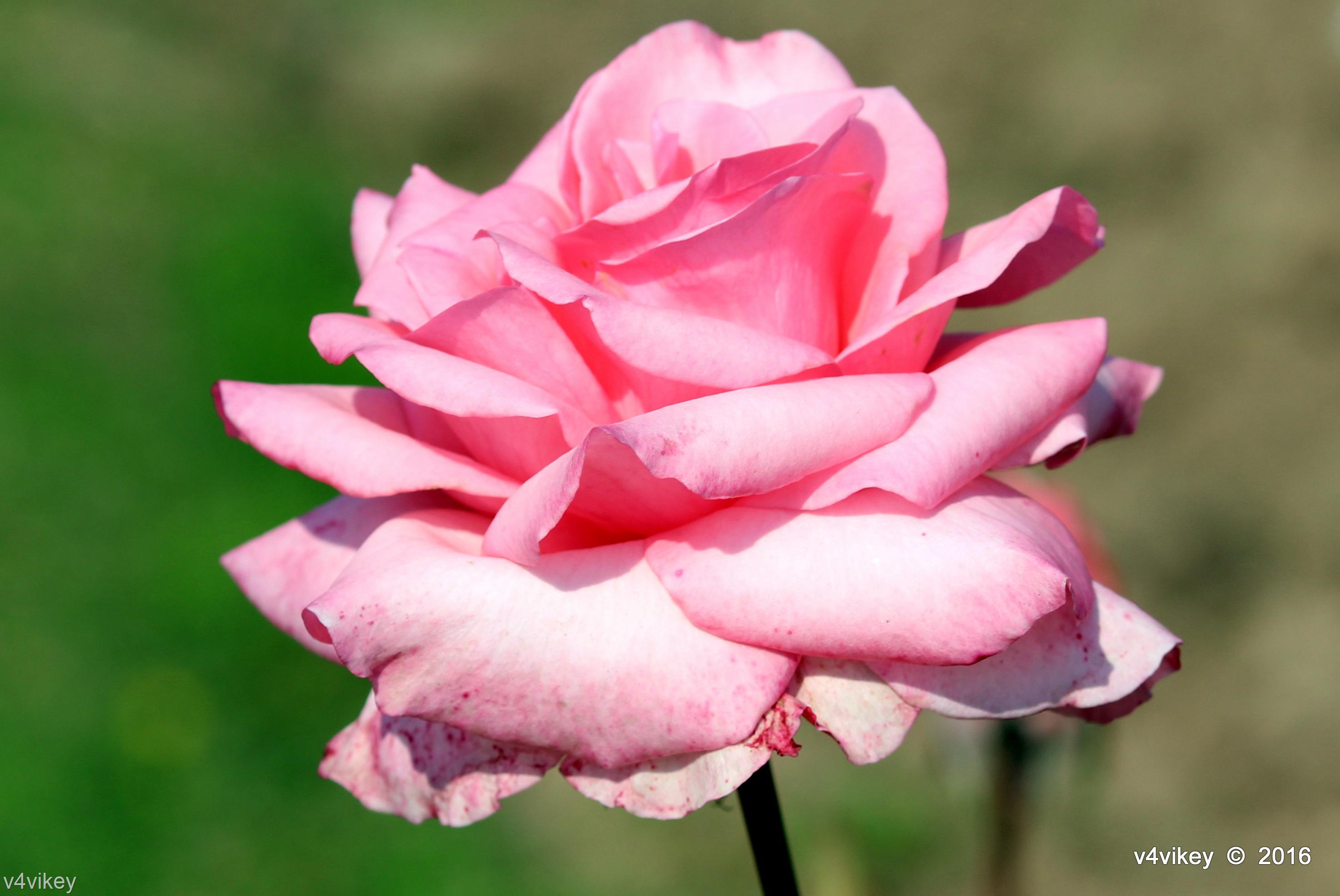 Types Of Rose By Color Light Pink Rose Flower Wallpaper Tadka