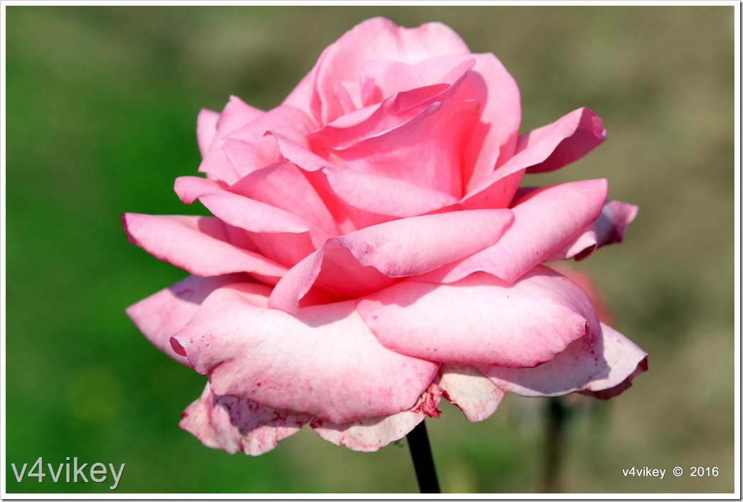 Light Pink Rose Flower