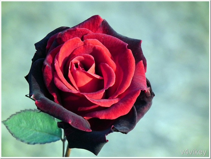 Dark Red Rose Flower