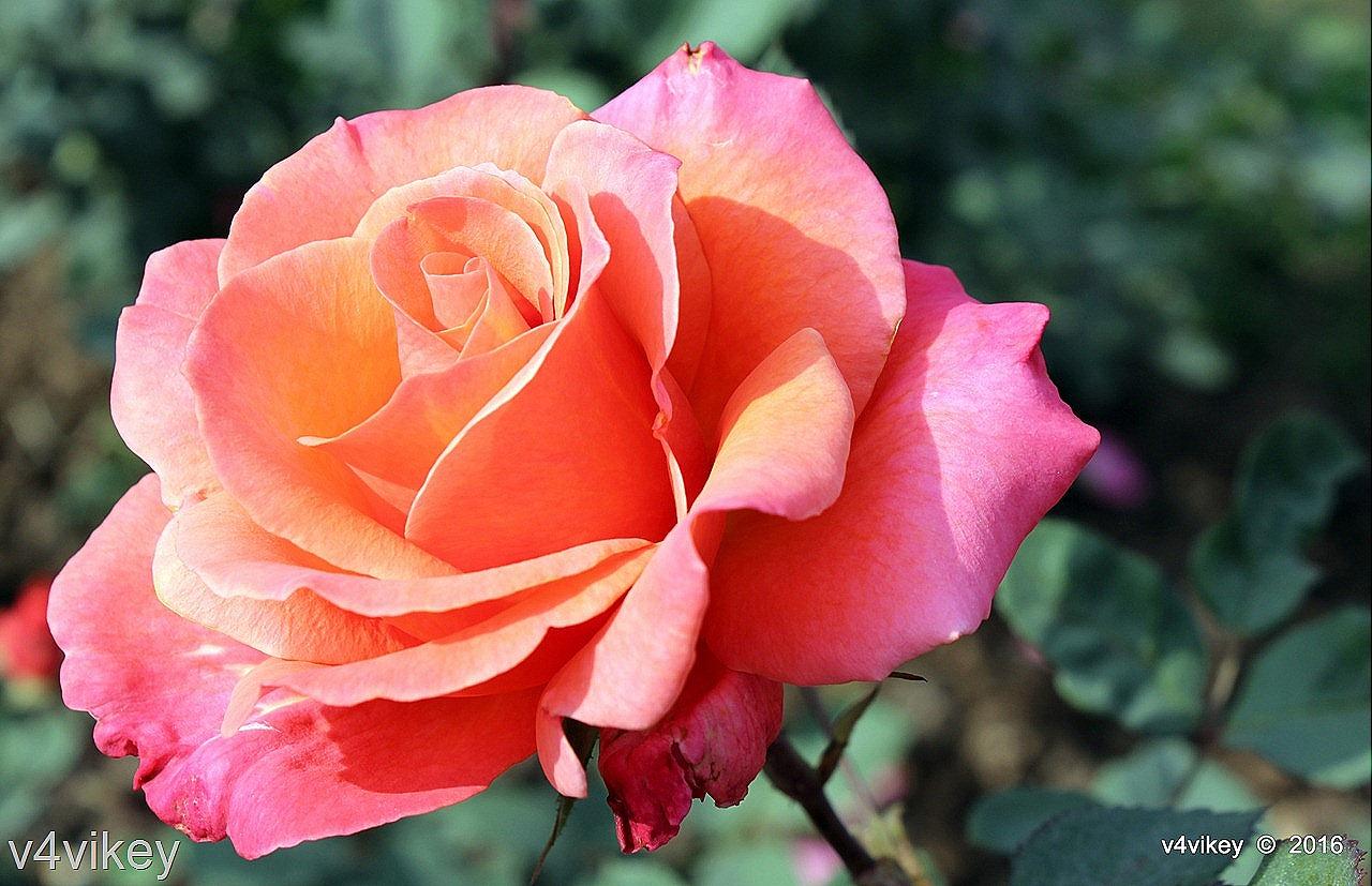 Types of Rose Flower by Color – Orange Pink Color « Wallpaper Tadka