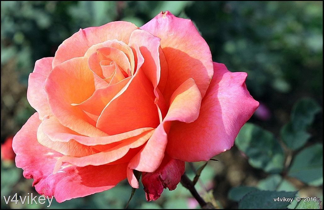 Orange Pink Rose Color Roses