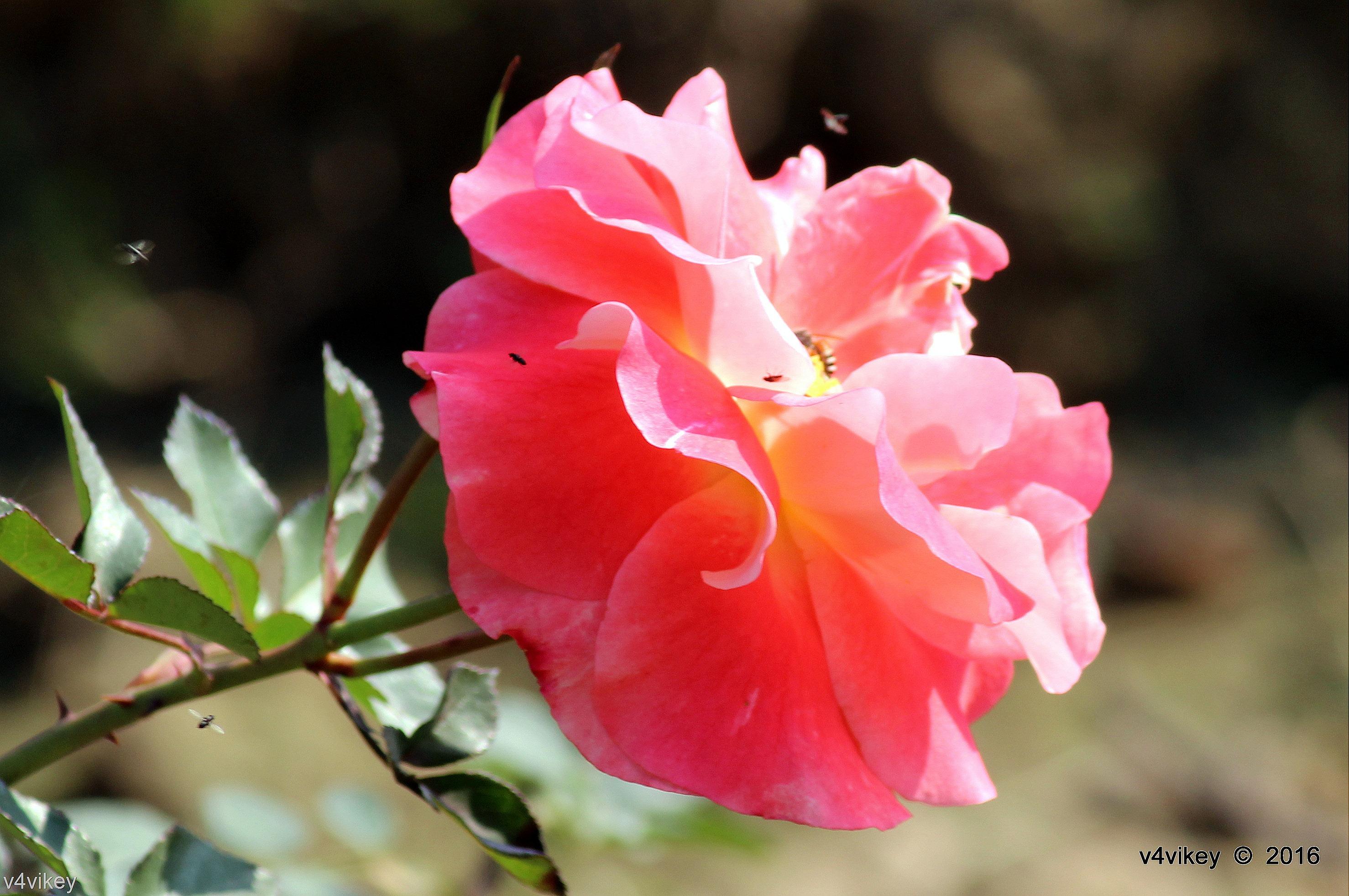 Baby pink rose flower wallpaper tadka baby pink roses lovers blush rose flower mightylinksfo