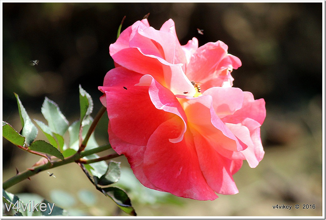 Baby Pink Roses