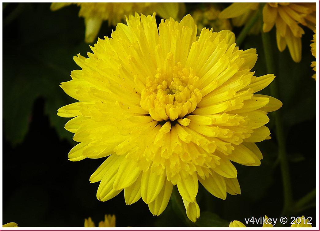 Yellow Color Chrysanthemum Flower