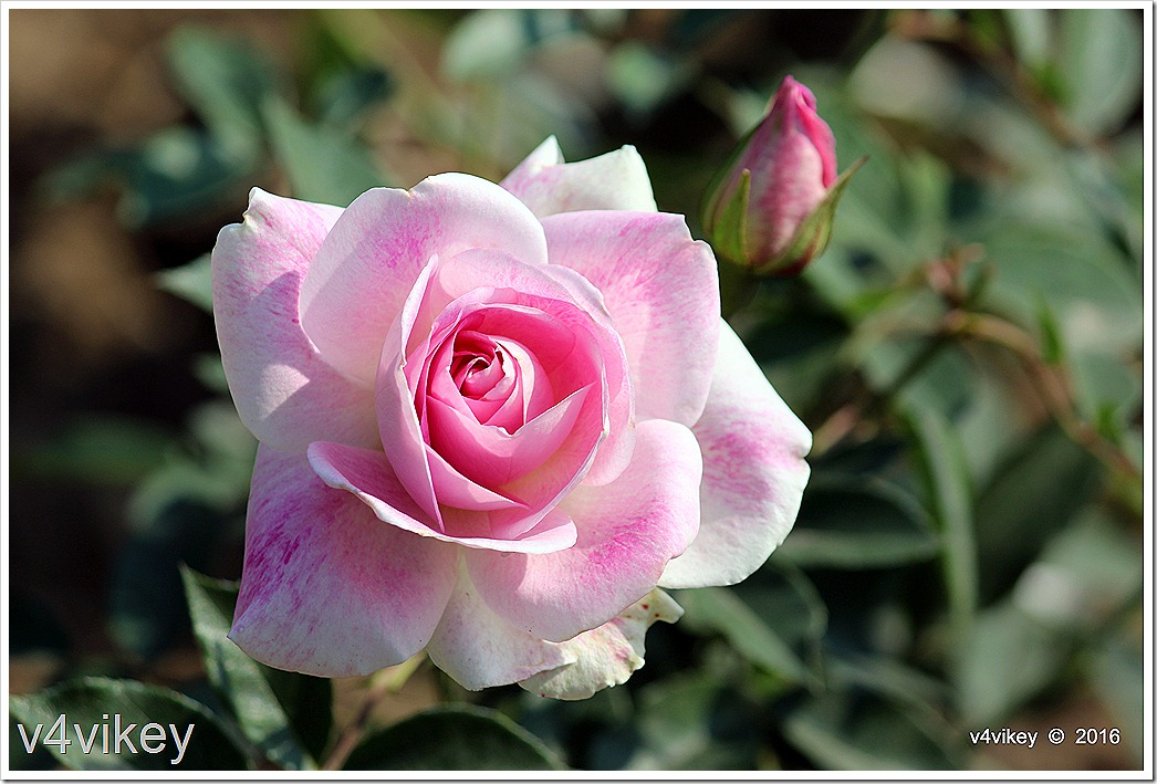 Beauty of Pink Roses