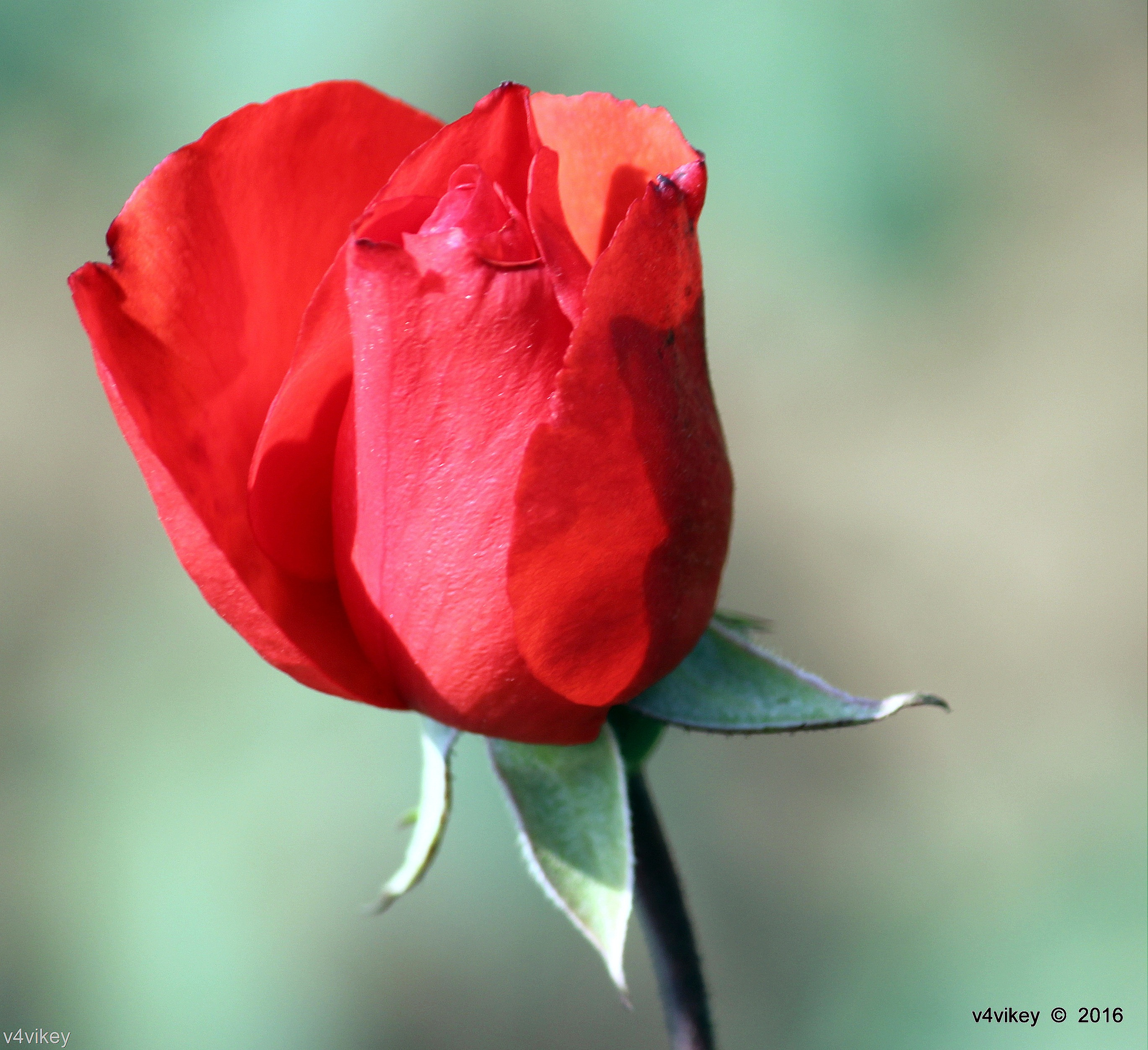 Roses Wallpaper : Red Color Rose bud « Wallpaper Tadka