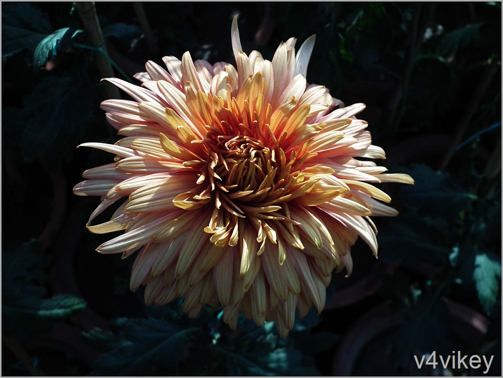 Decorative Chrysanthemum Flower