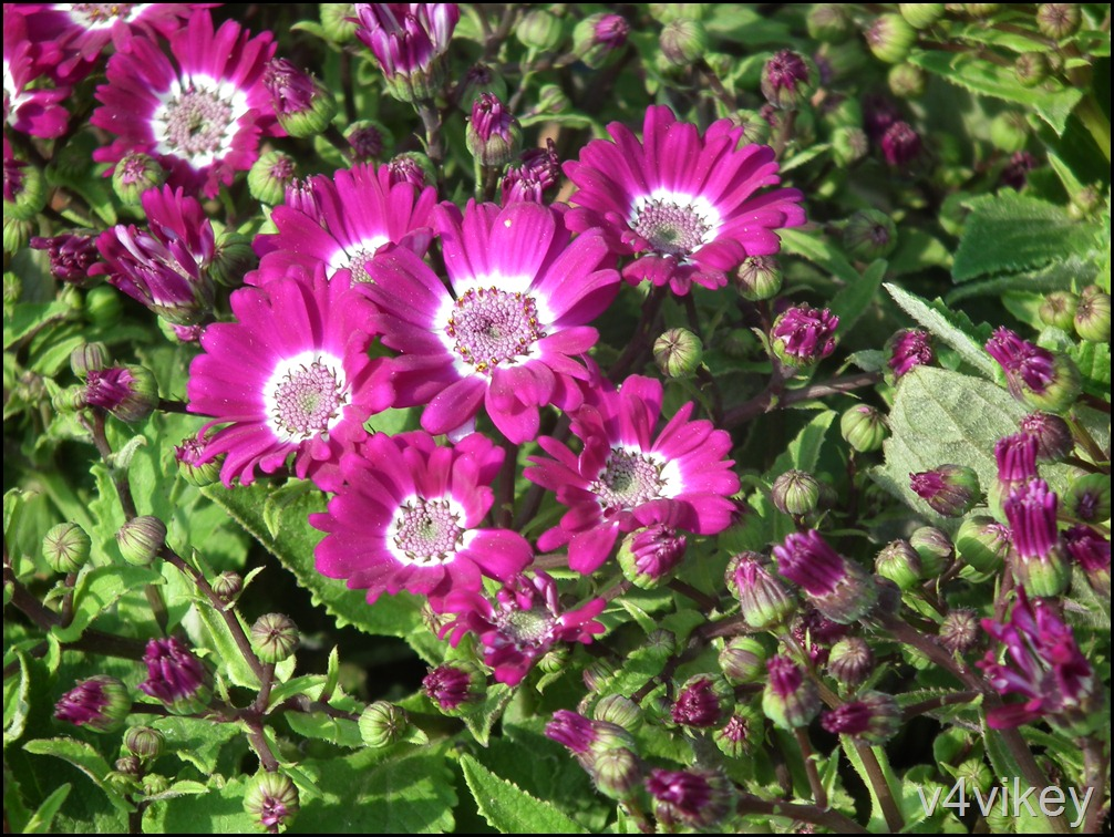 Dianthus Flower (15)