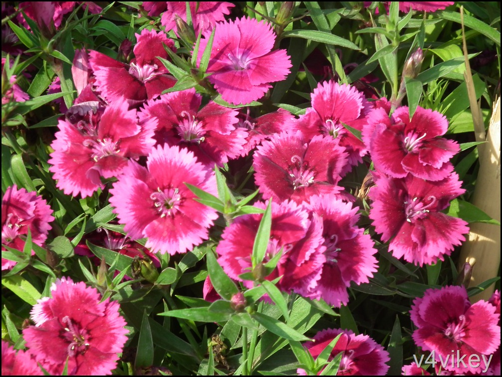 Dianthus Flower Red Pink Color
